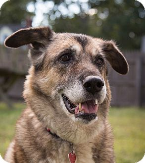 German Shepherd Dog/Husky Mix Dog for adoption in Wayland, Massachusetts - Diamond