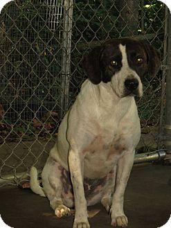 Labrador Retriever/Collie Mix Dog for adoption in Henderson, North Carolina - Sarah