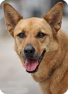 German Shepherd Dog Mix Dog for adoption in Los Angeles, California - Callie von Bucknam
