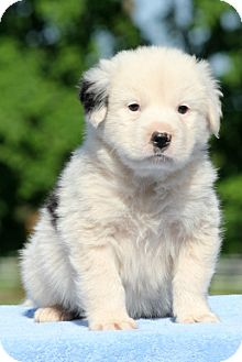 Bernese Mountain Dog/Samoyed Mix Puppy for adoption in Pennigton, New Jersey - Draco