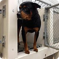 Adopt A Pet :: Rascal - Lancaster, VA
