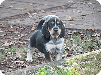 Bluetick Coonhound/Treeing Walker Coonhound Mix Puppy for adoption in Middleburg, Florida - Bubba