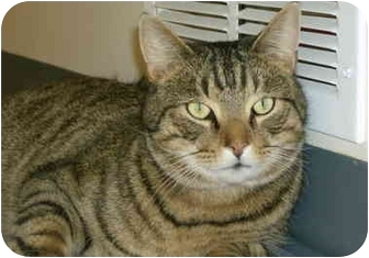 Domestic Shorthair Cat for adoption in Chester, Maryland - Ben