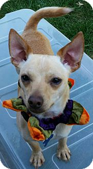 Jack Russell Terrier/Chihuahua Mix Dog for adoption in Salem, Oregon - Max