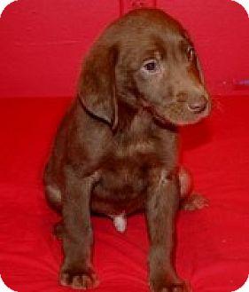 Labrador Retriever Mix Puppy for adoption in Newburgh, Indiana - Reno