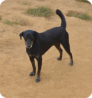 Terrier (Unknown Type, Small)/Labrador Retriever Mix Dog for adoption in Grenada, Mississippi - Karl