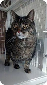 Domestic Shorthair Cat for adoption in Douglas, Wyoming - Cash