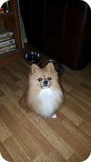 Pomeranian Mix Dog for adoption in WESTMINSTER, Maryland - Finn