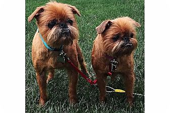 Brussels Griffon Dog for adoption in Chicago, Illinois - MADDIE & KIP-Adopted