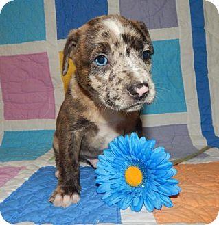 Boxer/Australian Shepherd Mix Puppy for adoption in Old Fort, North Carolina - Bruno