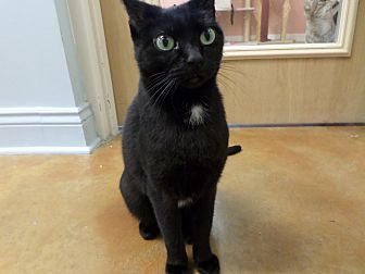 Domestic Shorthair Cat for adoption in Lake Charles, Louisiana - Jane