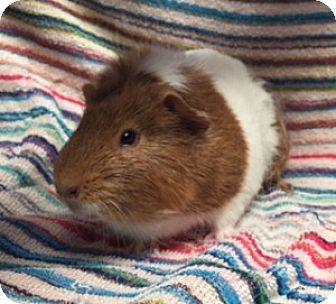 Guinea Pig for adoption in Montclair, California - Piglet