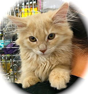 Domestic Longhair Kitten for adoption in Franklin, Indiana - Dory