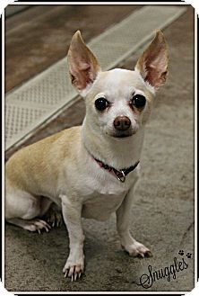 Chihuahua Mix Dog for adoption in Dunkirk, New York - Snuggles