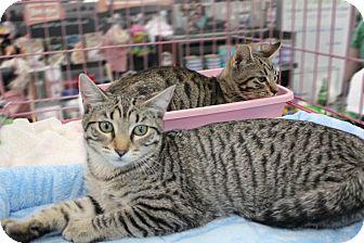 Bengal Kitten for adoption in Studio City, California - Fiona & Freddy