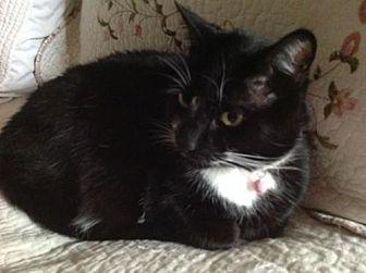 Domestic Mediumhair Cat for adoption in San Jose, California - Daiquiri