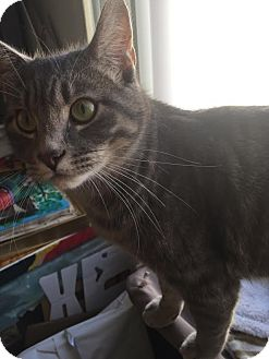 Domestic Shorthair Cat for adoption in Los Angeles, California - Spam (bonded to Blu)
