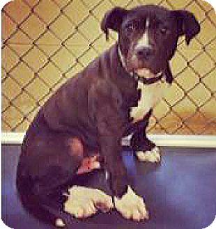 American Bulldog Mix Puppy for adoption in Spokane, Washington - Stone