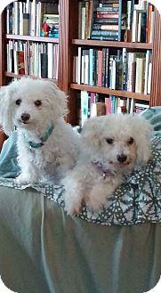 Bichon Frise/Bichon Frise Mix Dog for adoption in South Portland, Maine - Bear & Simone