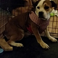 English Bulldog/Beagle Mix Dog for adoption in DAYTON, Ohio - Adel