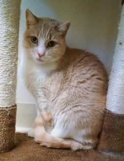 Domestic Shorthair/Domestic Shorthair Mix Cat for adoption in Stroudsburg, Pennsylvania - Donovan