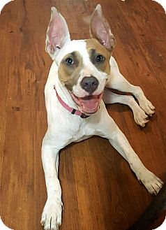 American Bulldog Mix Puppy for adoption in Savannah, Georgia - Chrissy