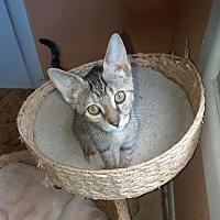 Adopt A Pet :: Catsy Cline - Highland, IN
