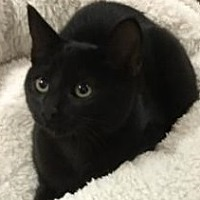 Adopt A Pet :: All Black Kittens - Yorba Linda, CA
