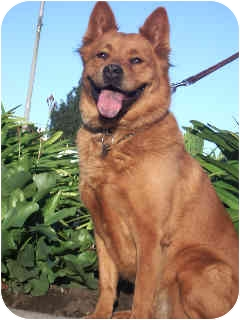 Golden Retriever/Chow Chow Mix Dog for adoption in Van Nuys, California - Daphne