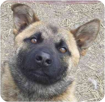 Belgian Tervuren/Akita Mix Dog for adoption in Marseilles, Illinois - Wylie
