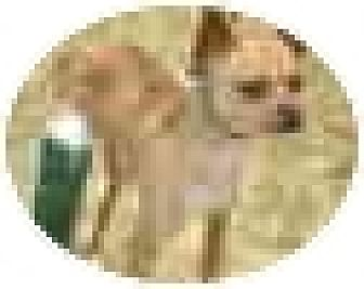 Chihuahua Dog for adoption in Kingwood, Texas - Cody