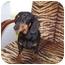 Photo 1 - Dachshund Dog for adoption in Spokane, Washington - Heidi