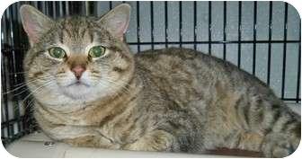 Domestic Shorthair Cat for adoption in Shelbyville, Kentucky - Tigger