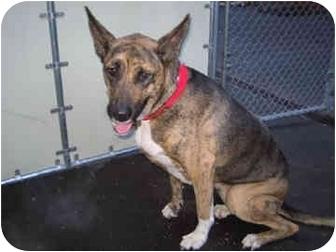 German Shepherd Dog Mix Dog for adoption in New York, New York - Sable