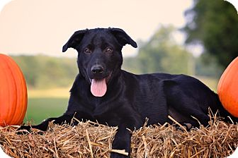 Labrador Retriever/German Shepherd Dog Mix Puppy for adoption in Albany, New York - Vadar