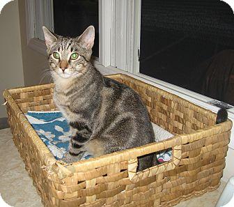 Domestic Shorthair Kitten for adoption in Hamilton, New Jersey - FRANKIE - 2012