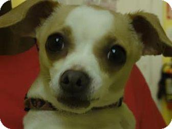 Chihuahua Mix Dog for adoption in Philadelphia, Pennsylvania - Izzy