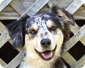 Australian Shepherd/Sheltie, Shetland Sheepdog Mix Dog for adoption in Westport, Connecticut - *Meadow & Oakley-PENDING
