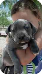 Pit Bull Terrier/American Staffordshire Terrier Mix Puppy for adoption in Anza, California - Mack