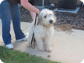 Old English Sheepdog/Poodle (Standard) Mix Puppy for adoption in W. Warwick, Rhode Island - SHAGGY R.I.