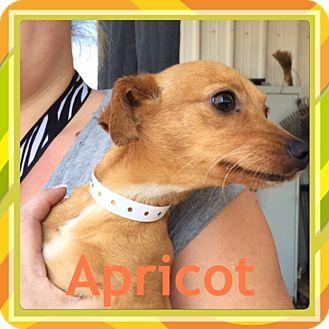 Chihuahua/Dachshund Mix Dog for adoption in Pahrump, Nevada - Apricot