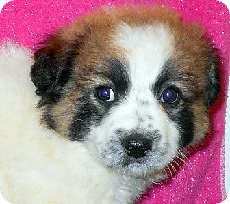 Australian Shepherd/Australian Cattle Dog Mix Puppy for adoption in Allentown, New Jersey - Ginny Potter