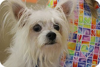 Westie, West Highland White Terrier/Chihuahua Mix Dog for adoption in Boca Raton, Florida - Dash