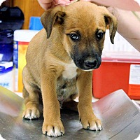 Adopt A Pet :: Kobee - Naugatuck, CT