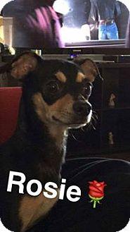 Chihuahua Mix Dog for adoption in Wichita Falls, Texas - Rosey