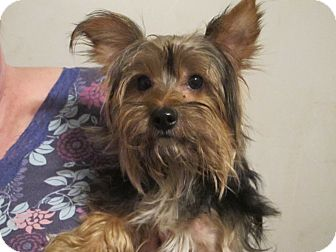 Yorkie, Yorkshire Terrier Mix Dog for adoption in Spring Valley, New York - Reagan