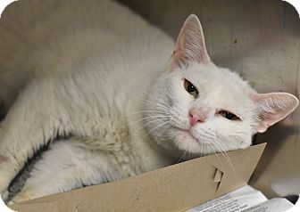 Domestic Shorthair Cat for adoption in Philadelphia, Pennsylvania - MIMI!
