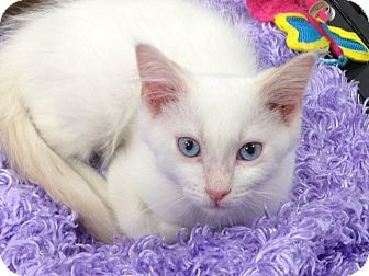 Snowshoe Kitten for adoption in Beaumont, Texas - Nicholas
