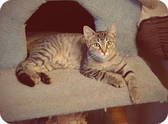 Domestic Shorthair Kitten for adoption in Madison, Tennessee - Robin - very friendly