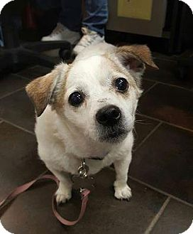 Chihuahua Dog for adoption in Freeport, New York - Poppy